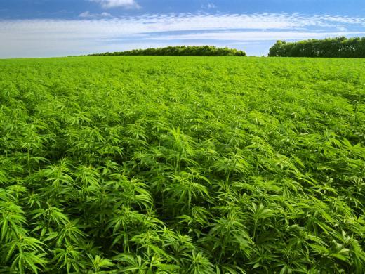 Cannabis Marihuana
